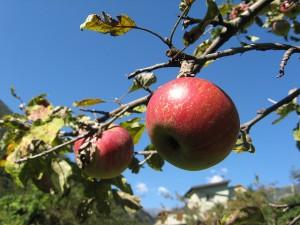 Apple Picking in Hudson Valley