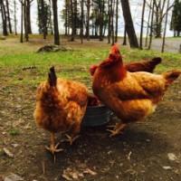 Mount Merino Manor hens